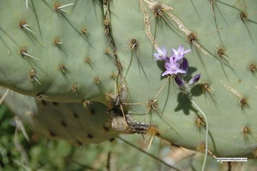 Desert Hyacinth and Prickly Pear