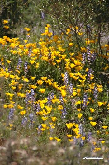 Wildflowers, Tucson, AZ